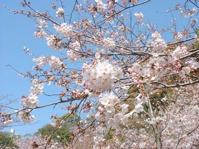 コロナ禍だって花見は楽しめる!新たに身につけた生活様式で花見を楽しもう!!